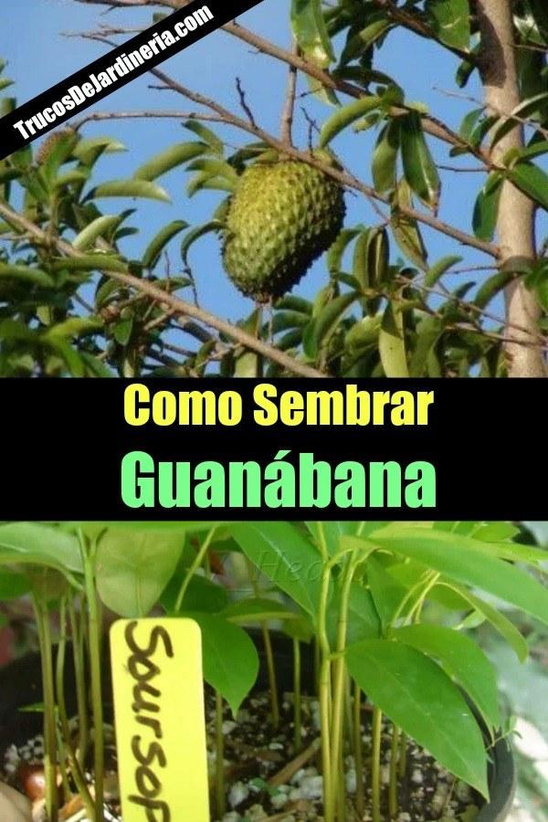 Como Sembrar Guanábana