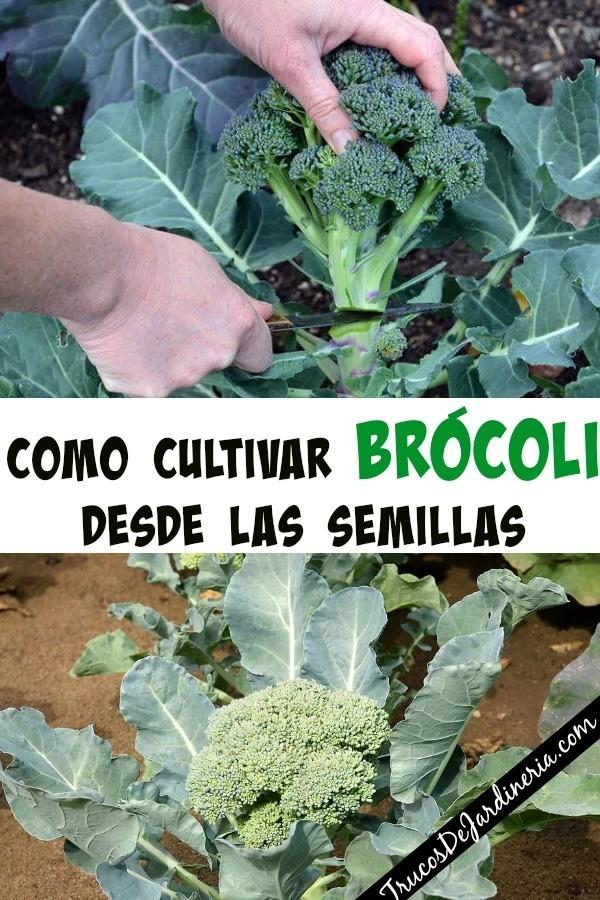 Como Cultivar Brócoli