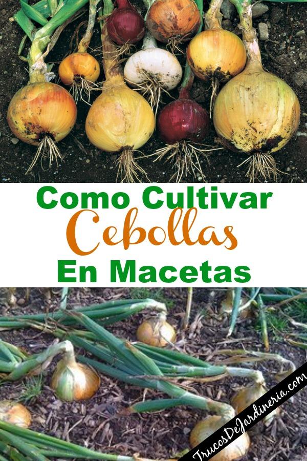 Como Cultivar Cebollas