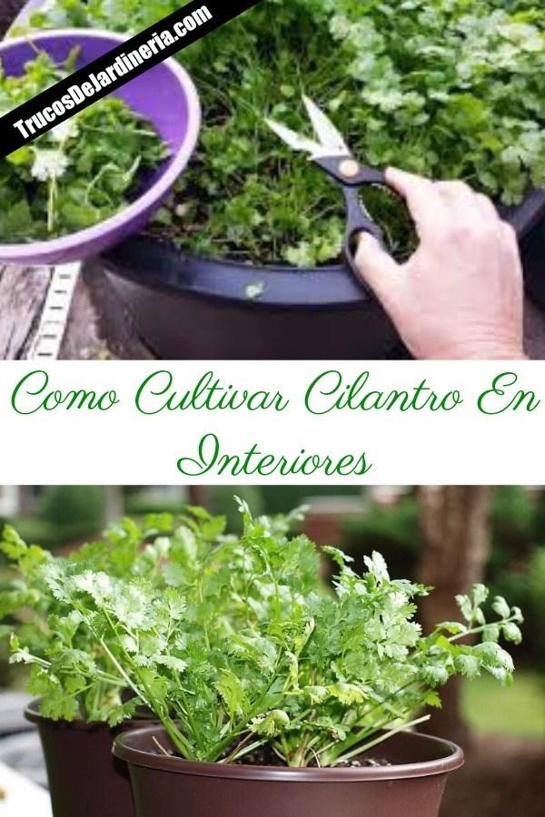 Como Cultivar Cilantro