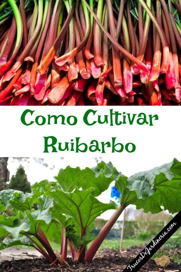 Como Cultivar Ruibarbo