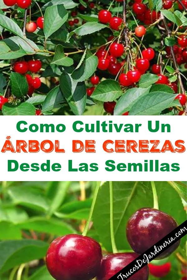 Como Cultivar Un Árbol De Cerezas