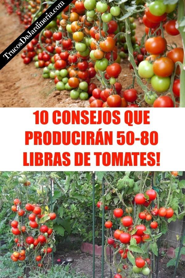 Consejos Que Producirán un Montón de Tomates