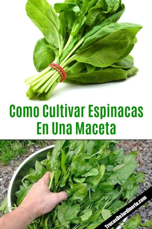 Cultivar Espinacas