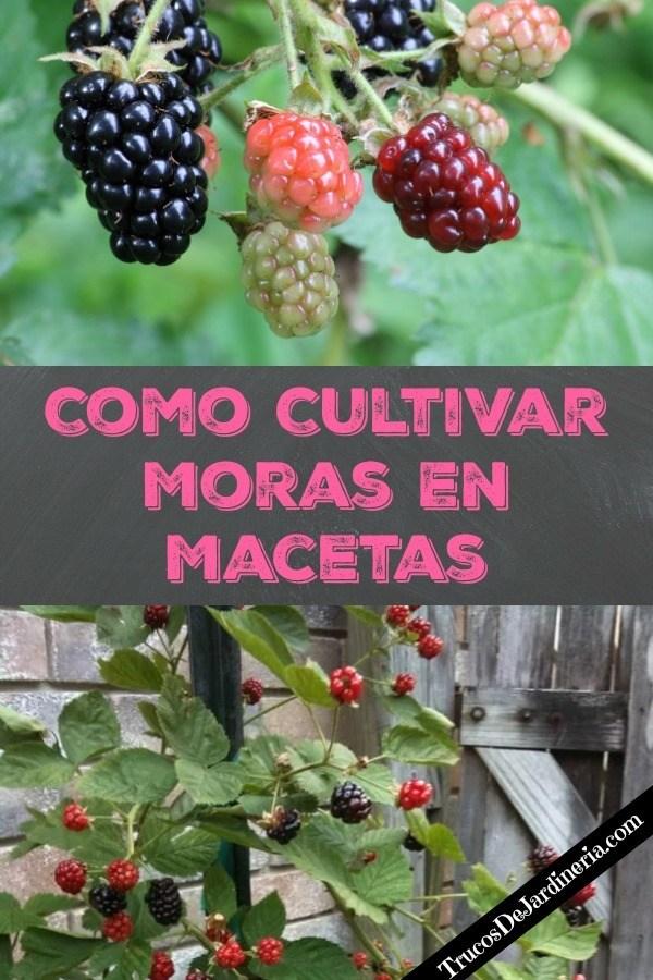 Cultivar Moras En Macetas