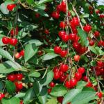 Como Cultivar Un Árbol De Cerezas Desde Las Semillas