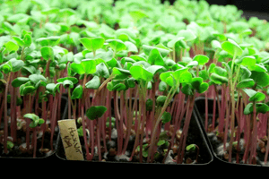 cultivar micro verduras