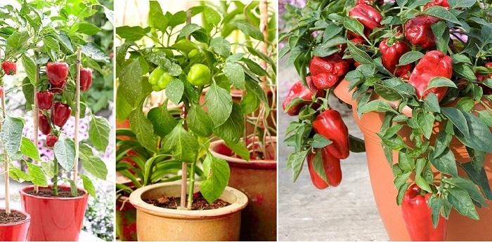 Como Cultivar Pimientos Morrones En Una Maceta Trucos De Jardineria