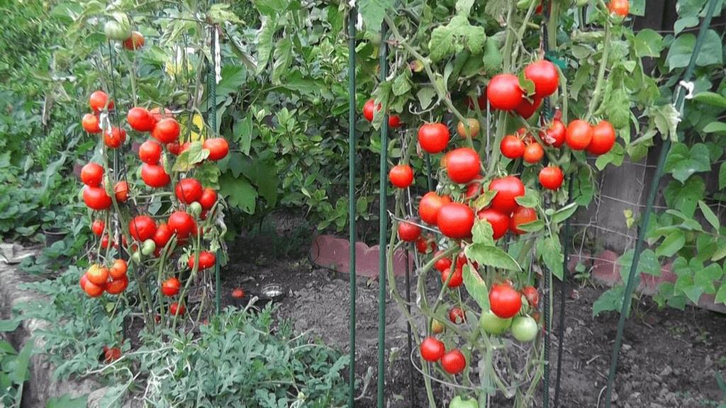tomates en una jaula