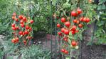 10 Consejos Que Producirán un Montón de Tomates (50-80 Libras)
