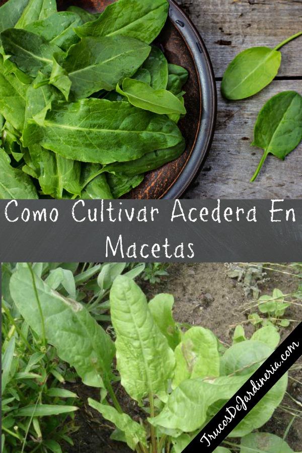 Como Cultivar Acedera