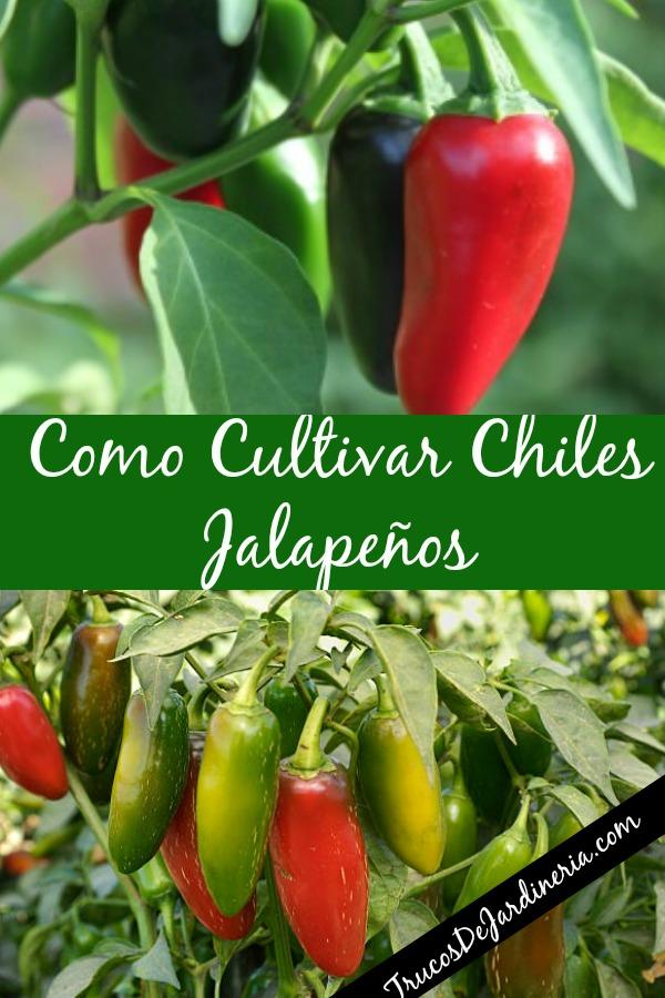 Como Cultivar Chiles Jalapeños