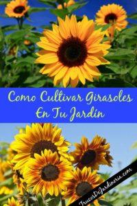 Como Cultivar Girasoles