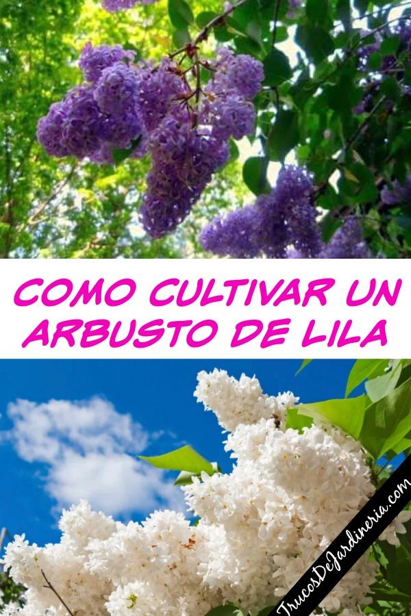 Como Cultivar Lilas