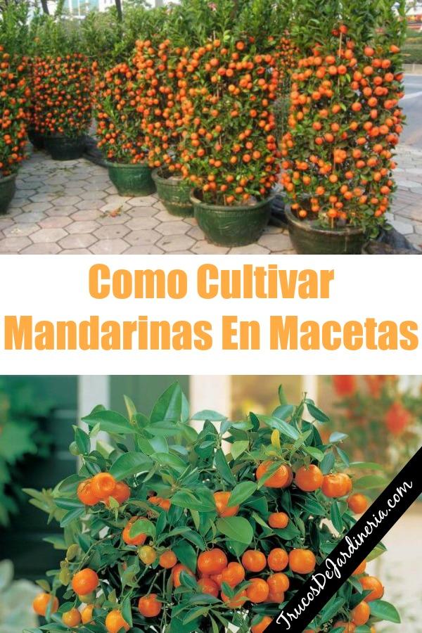 Como Cultivar Mandarinas