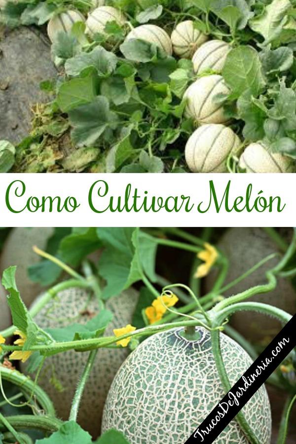 Como Cultivar Melón