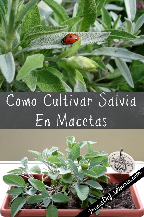 Como Cultivar Salvia