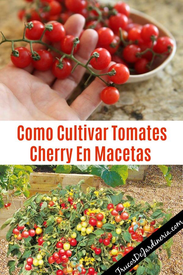 Como Cultivar Tomates Cherry