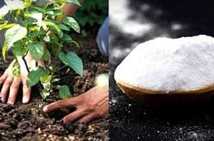 baking soda en jardin
