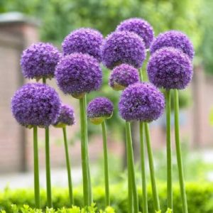 cebolla ornamental