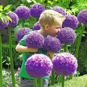cebollas ornamentales