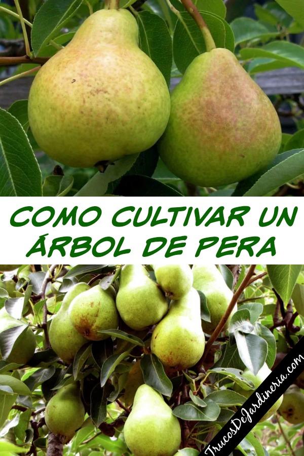como cultivar un árbol de pera