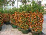 Como Cultivar Mandarinas En Macetas