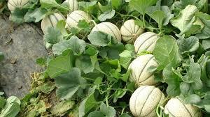 melónes