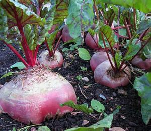 remolachas en el jardin