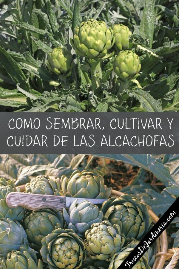 Como Cultivar Alcachofas