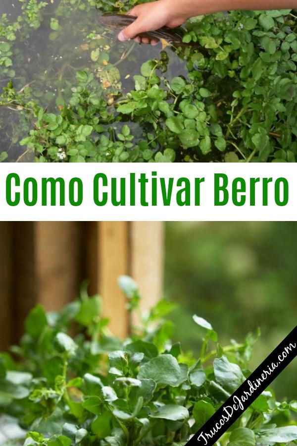 Como Cultivar Berro