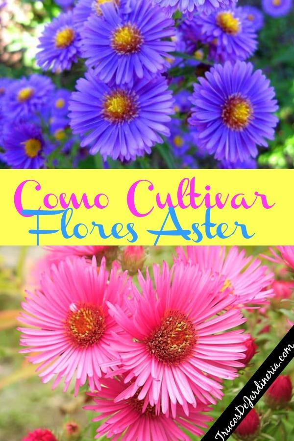 Como Cultivar Flores Aster