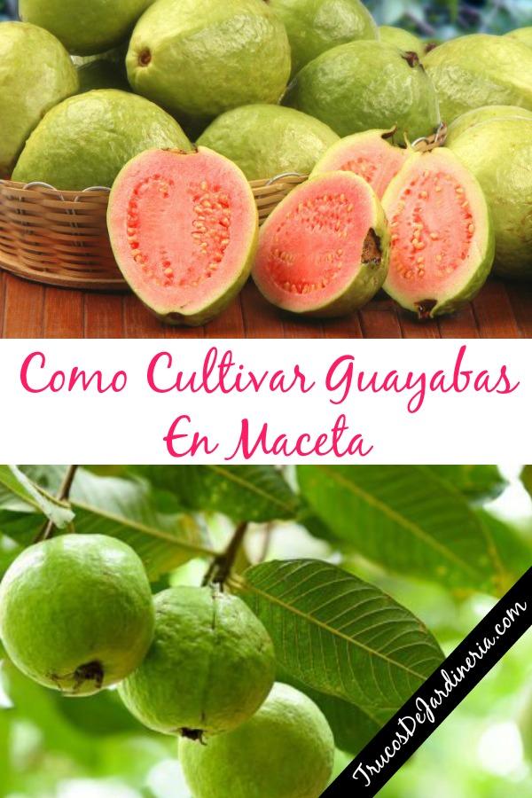 Como Cultivar Guayabas