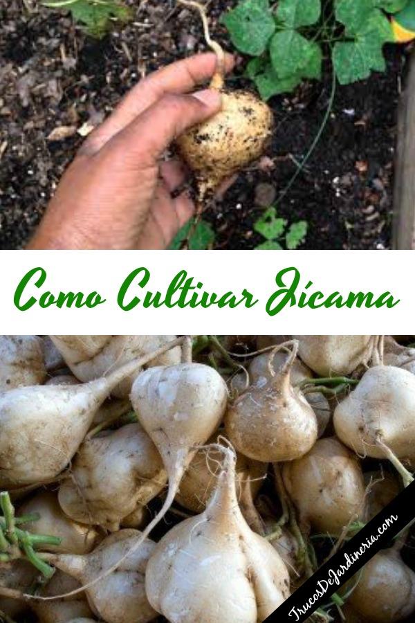 Como Cultivar Jícama
