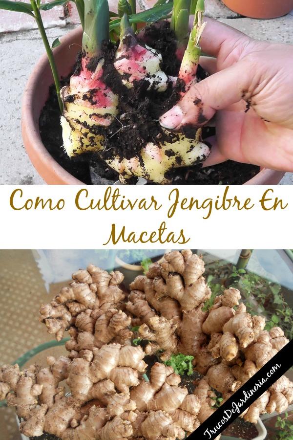 Como Cultivar Jengibre
