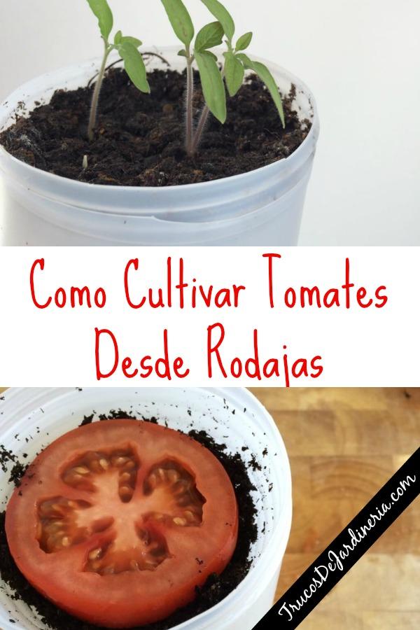 Como Cultivar Tomates Desde Rodajas