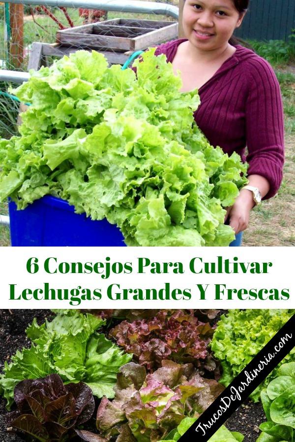 Consejos Para Cultivar Lechuga