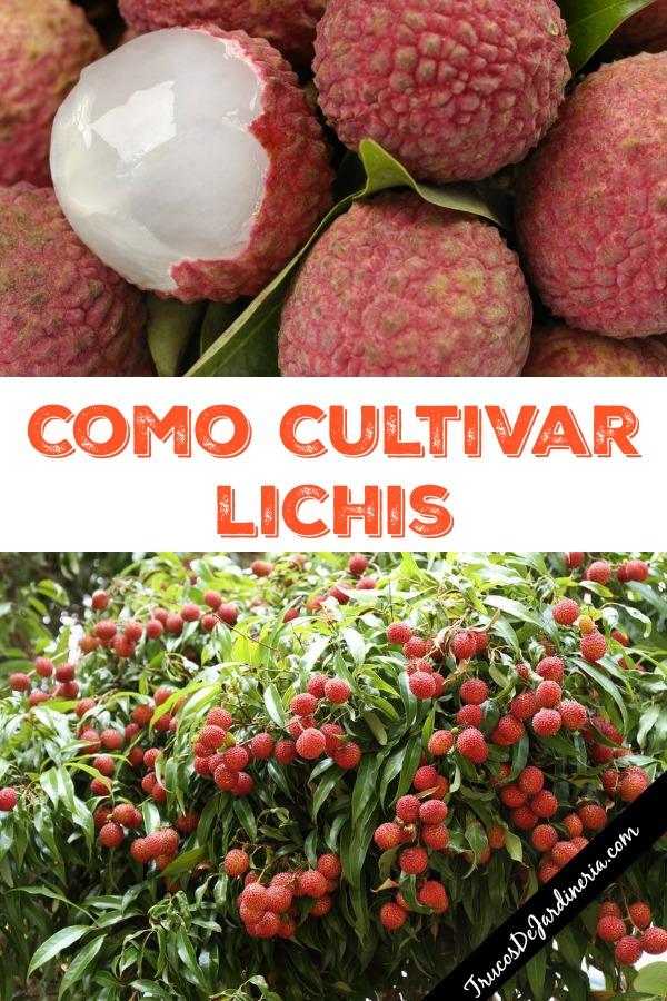 como cultivar lichis