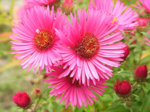 flores aster