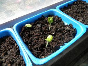 semilla de Melocotón