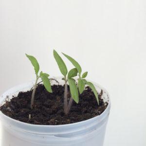 semilla de tomate