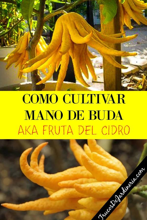 COMO CULTIVAR MANO DE BUDA