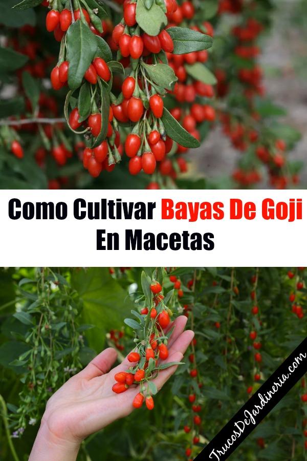 Como Cultivar Bayas De Goji