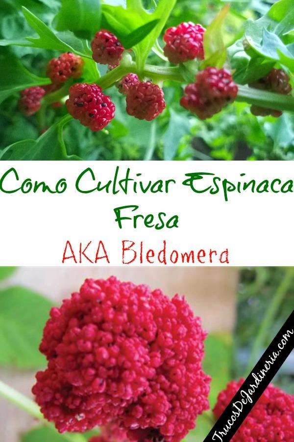 Como Cultivar Espinaca Fresa