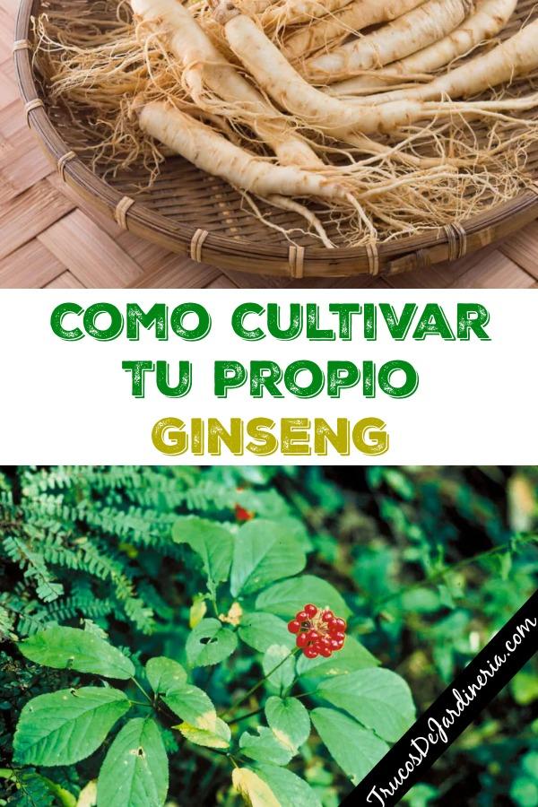 Como Cultivar Ginseng