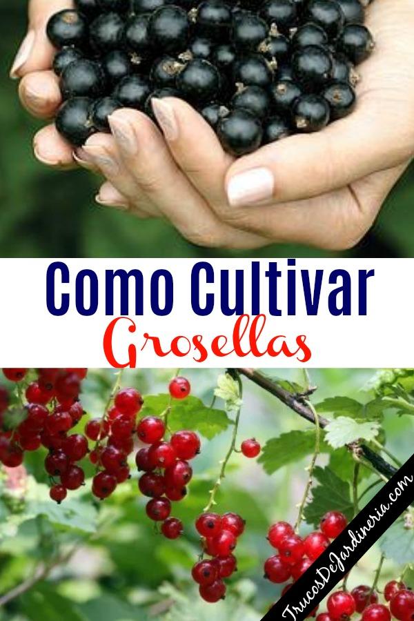 Como Cultivar Grosellas