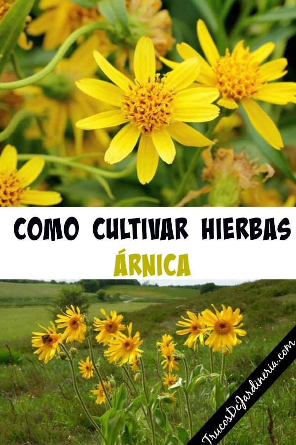 Como Cultivar Hierbas Árnica