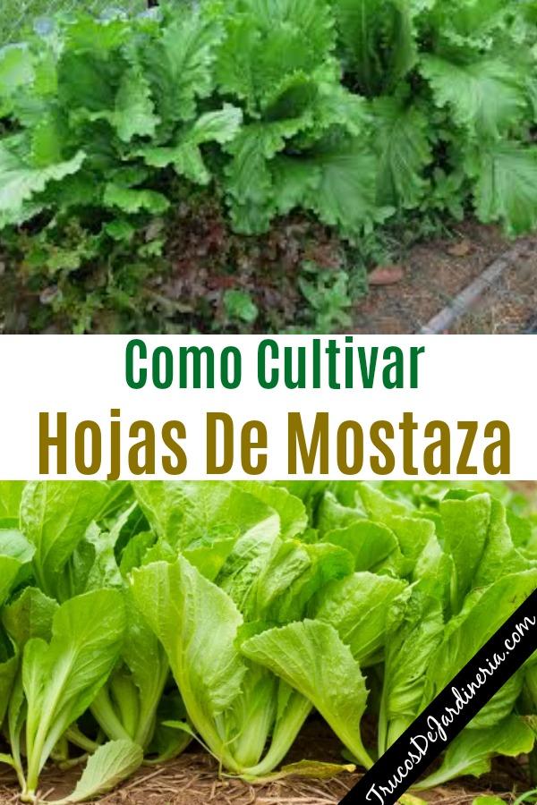 Como Cultivar Hojas De Mostaza