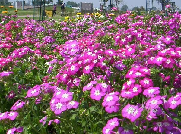 flores phlox