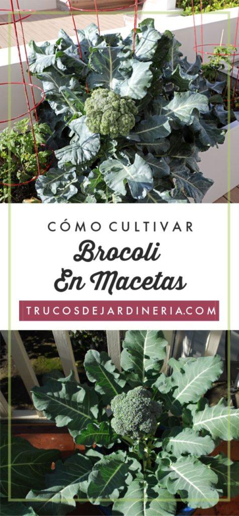 Cultivar Brocoli en Macetas